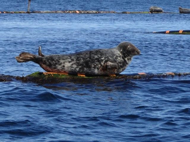 Grey Atlantic seal on SPM No. 1, Scapa Flow, Orkney