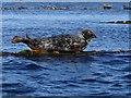 ND3598 : Grey Atlantic seal on SPM No. 1, Scapa Flow, Orkney by George Brown