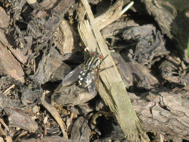 Flesh-fly [Sarcophaga carnaria]