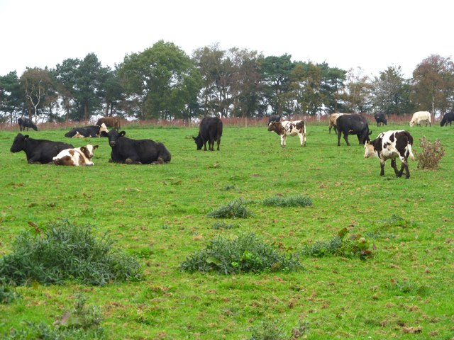 Cattle at Rawcliffe