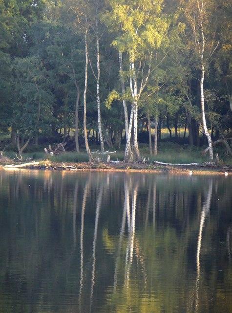 Silver birches, Pen Pond Plantation
