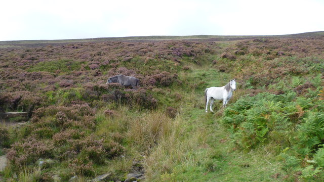 Ponies on the hillside below Bal Mawr