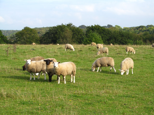 Sheep pastures, Blansby Park