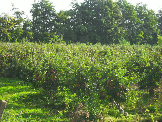 Apple orchard, Haddenham