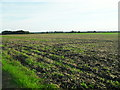 TL4775 : Arable land, Haddenham by Andrea