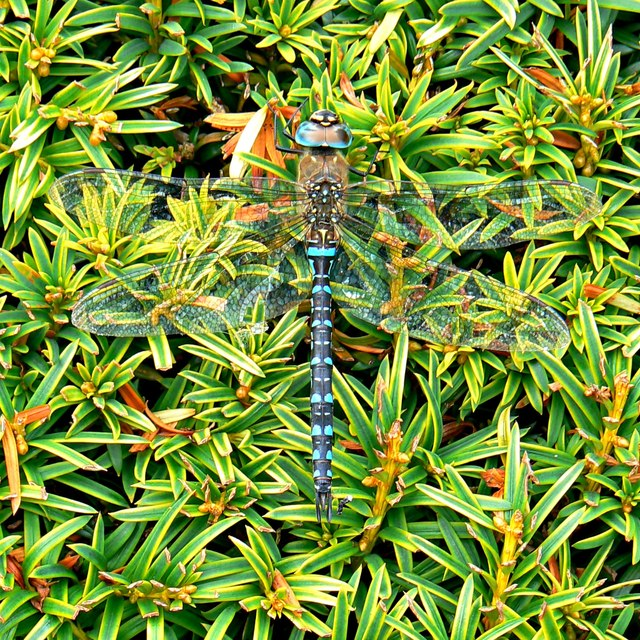 Dragonfly, Holme Lacy, Herefordshire
