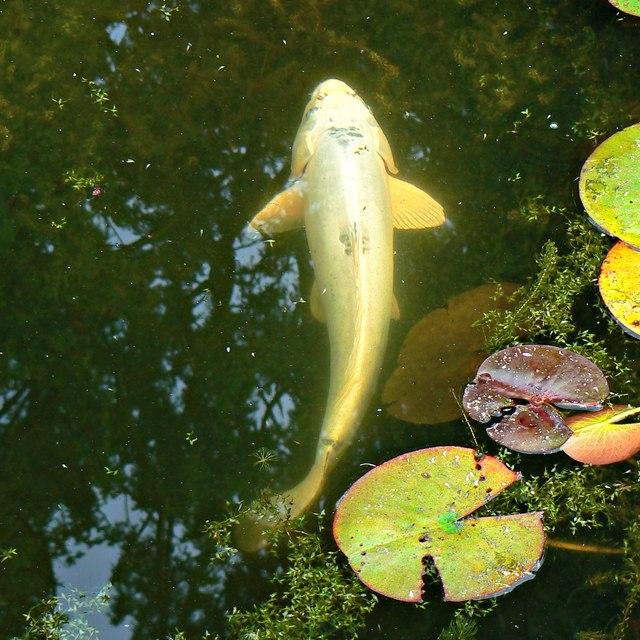 Koi carp, Holme Lacy, Herefordshire
