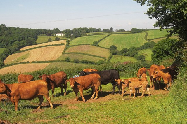 Cattle near Cumble Tor