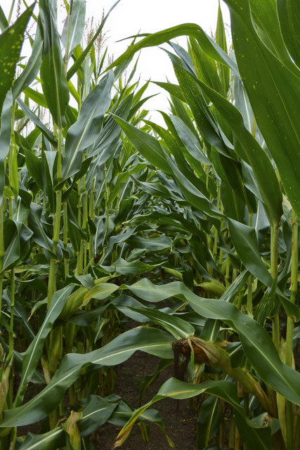 In the middle of a field of maize