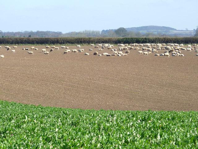 Crop field north of Worfield, Shropshire