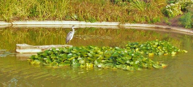 Heron, Cliveden Ornamental Lake