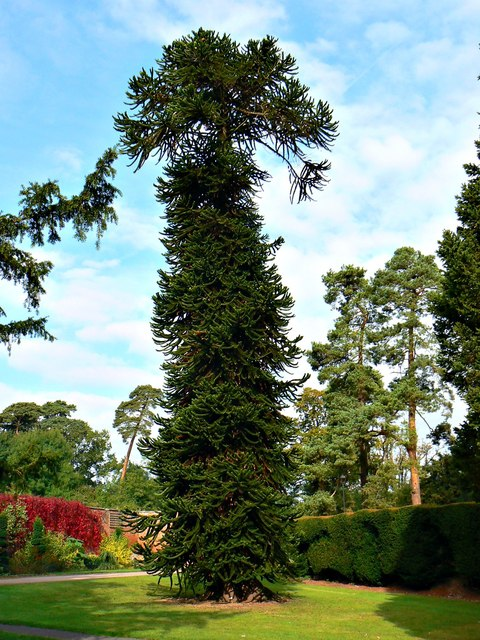Monkey puzzle tree, Holme Lacy, Herefordshire
