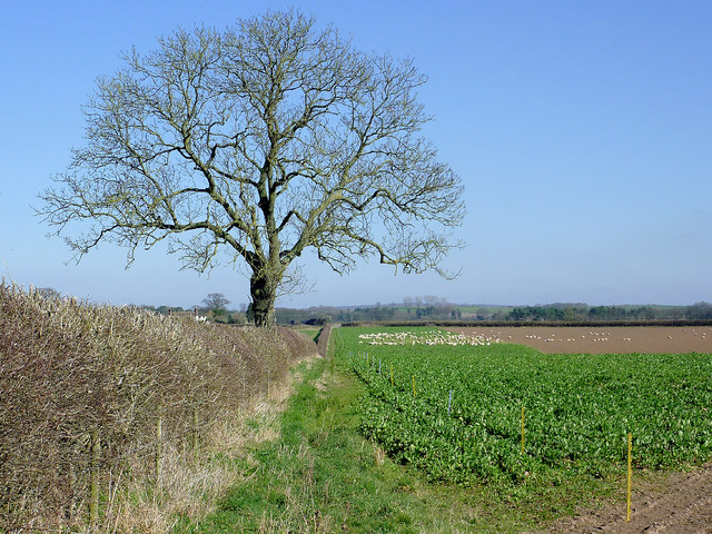 Footpath, field and oak tree north of Worfield, Shropshire
