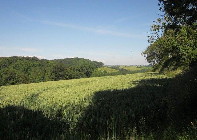 Wheat near Markwell