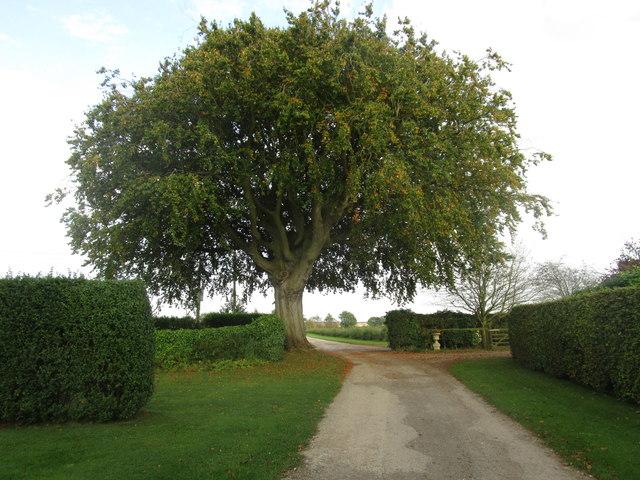 Beech tree at Little Wauldby Farm