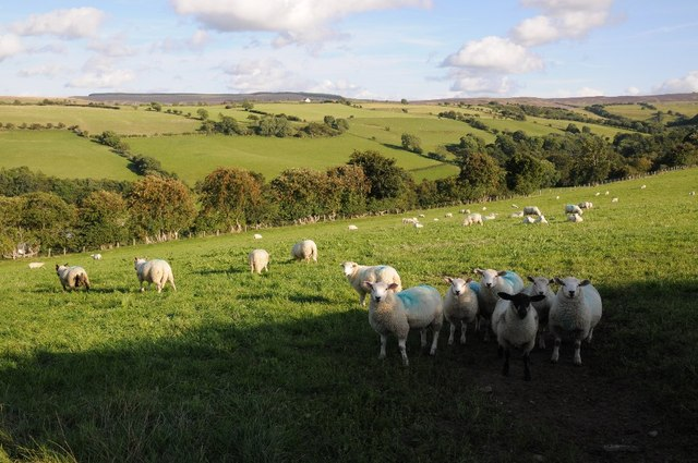 Sheep above Afon Hyrdd valley