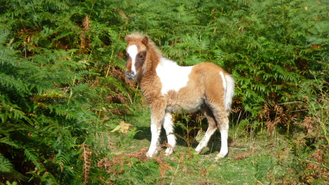 Miniature pony foal near Crug Hywel in close up