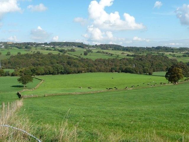 Cattle below Moorsides