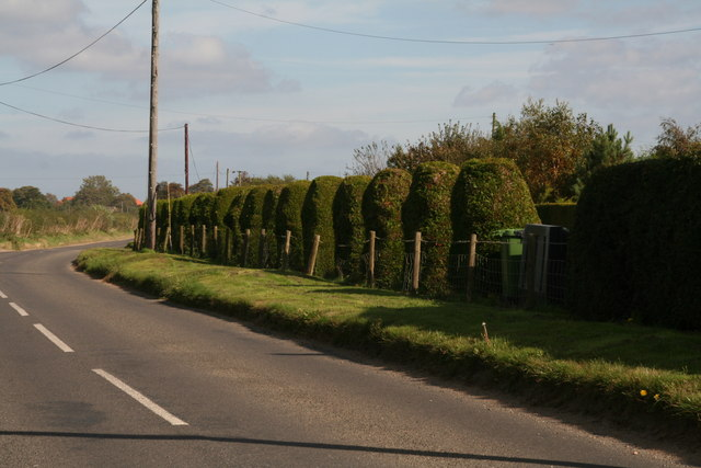 Serried ranks of clipped conifers on Thornage Road, Holt