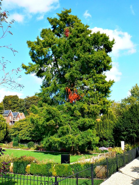 Pine tree, Wye House Gardens, Marlborough (1)