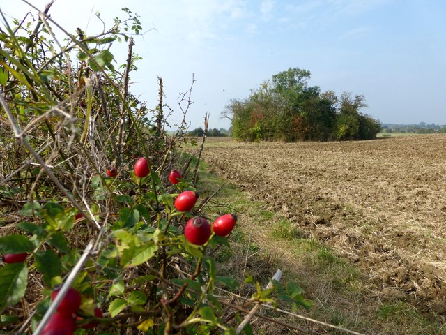 Rose hips, hedgerow and ploughed field