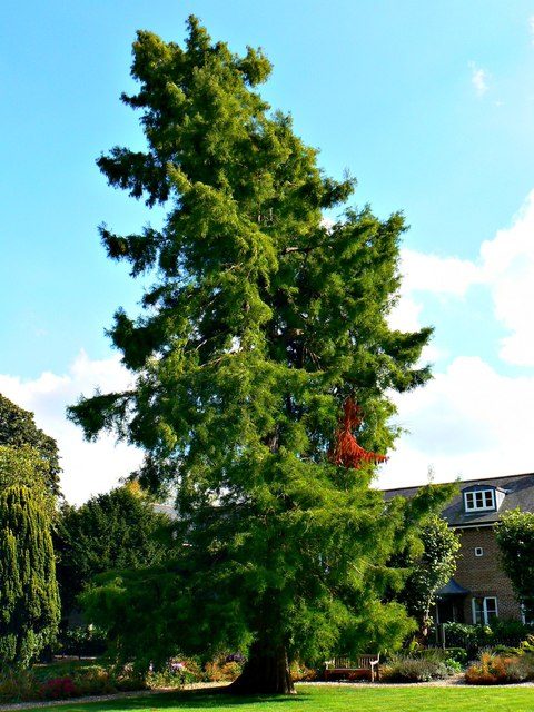 Pine tree, Wye House Gardens, Marlborough (2)
