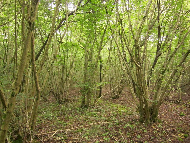 Coppiced woodland, South Moon Ridings