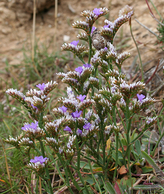 Sea-lavender (Limonium sp)
