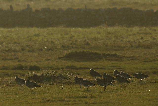 Curlews (Numenius arquata), Baltasound