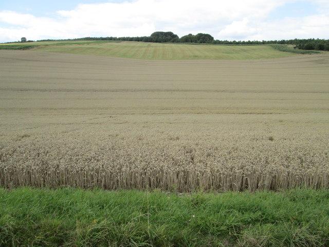 Wheat field, Hippenscombe Bottom