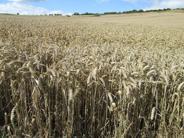 Wheat field near to Hippenscombe.