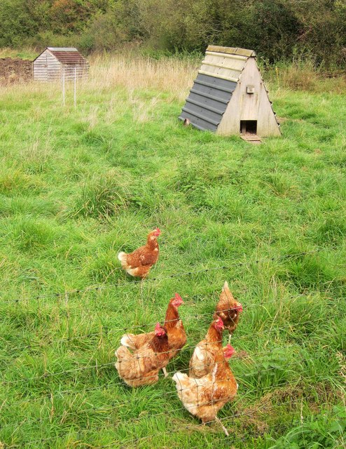 Free range hens near Lower Woods