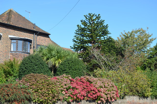 Monkey Puzzle Tree, Chantry Avenue, Bexhill