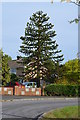TF0373 : Monkey Puzzle Tree, off Minster Drive, Cherry Willingham by J.Hannan-Briggs