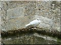 SP3211 : Minster Lovell - White dove on the ruins of the Old Hall by Rob Farrow