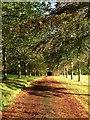 TQ2723 : Avenue of Trees, Pickwell : Week 41