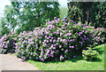 TQ6039 : Rhododendrons, Dunorlan Park by N Chadwick