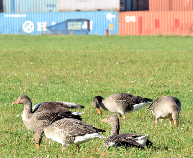 Greylag geese, Titanic Quarter, Belfast (October 2014)