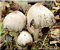 J3067 : Fungi, Lagan towpath, Dunmurry (October 2014) by Albert Bridge