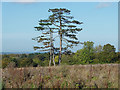 TQ0652 : Pine trees near Gason Wood by Alan Hunt