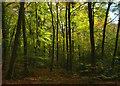 SU7082 : Greatbottom Wood, near Satwell, Oxfordshire by Edmund Shaw