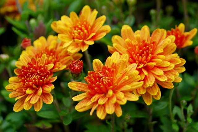 The perfect shape and color of the bronze mums brightened a somewhat dreary fall.