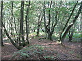 TL4902 : Purlieu bank in Ongar Park Wood by Mike Quinn