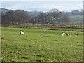 NY4871 : Field with sheep near Windyhill Farm by Oliver Dixon