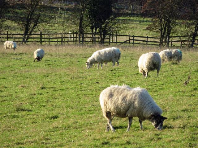 Sheep Grazing near Horkstow