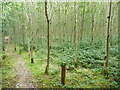 S4328 : Path through an ash plantation by Humphrey Bolton