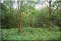 SE3158 : Woodland in the Nidd Gorge by N Chadwick