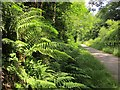 SX5185 : Ferns by the Granite Way by Derek Harper