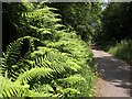 SX5185 : Male ferns by the Granite Way by Derek Harper