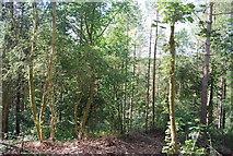 SE3257 : Woodland, Nidd Gorge by N Chadwick